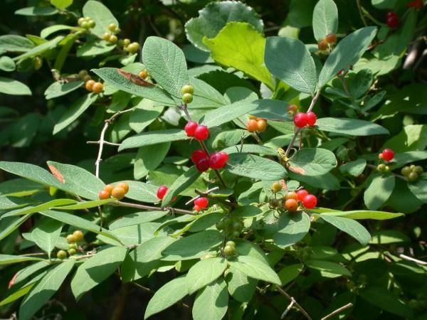 5 local plants you'd never guess are invasive — Potomac ...