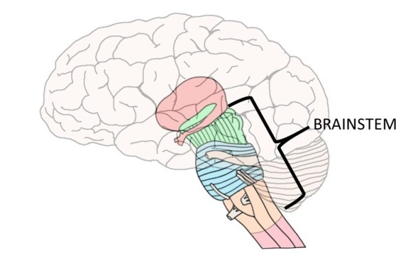 Picture Of Brain Stem - picture of