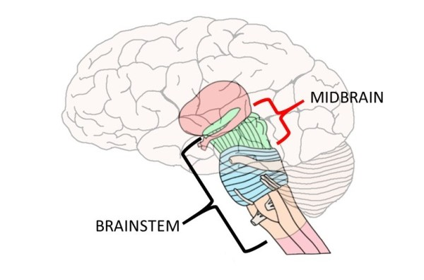 Know your brain: Midbrain — Neuroscientifically Challenged