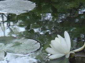 """""""WATER LILY THAT BLOOMED FOR THE FIRST TIME"""" BY WISE OWL LINDA"""