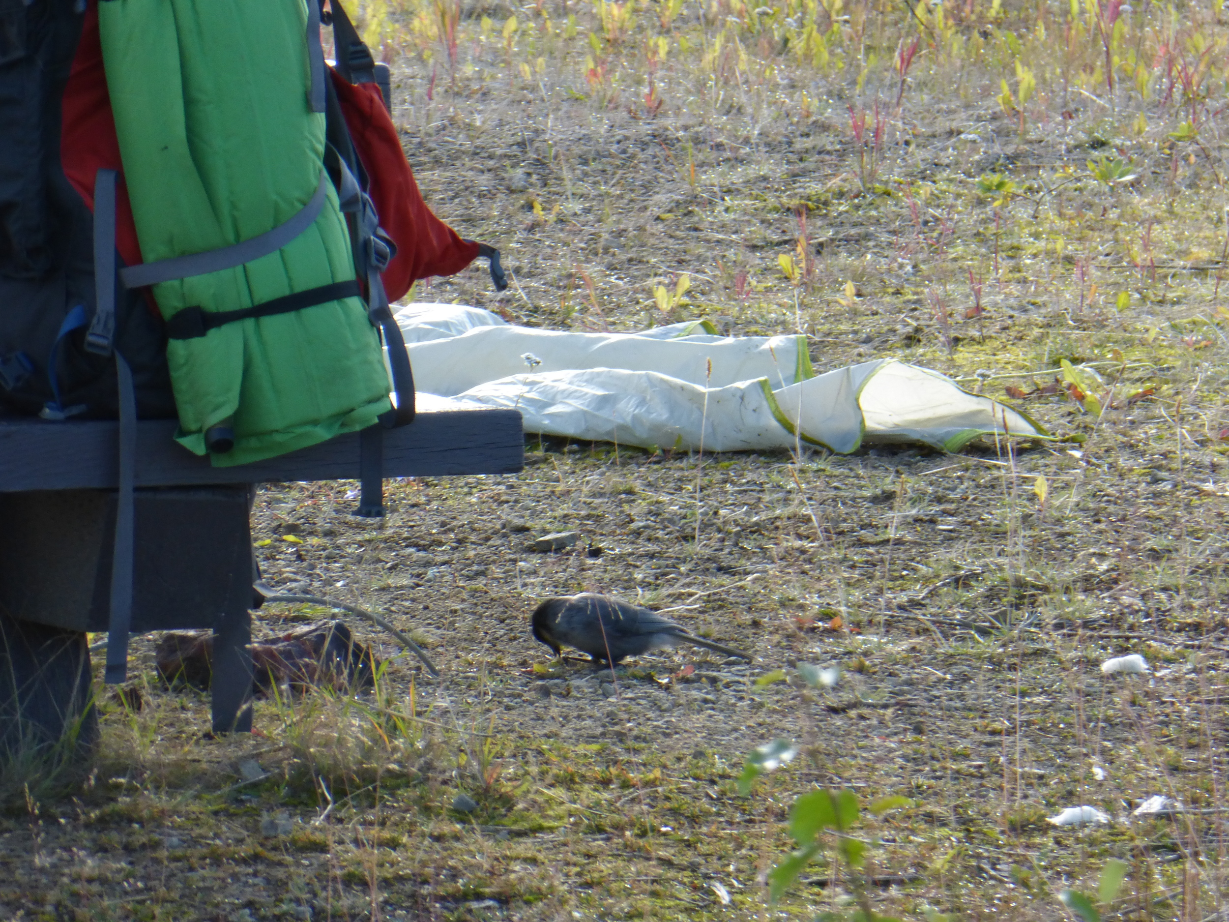 Grayjays were robbing me of my M&M's after taking down my tent I came back to see them drilling holes in my trail mix bag!