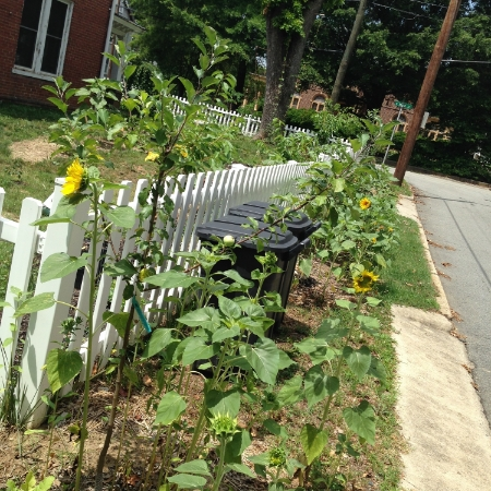 Sunflowers amid the apple trees outside the fence.