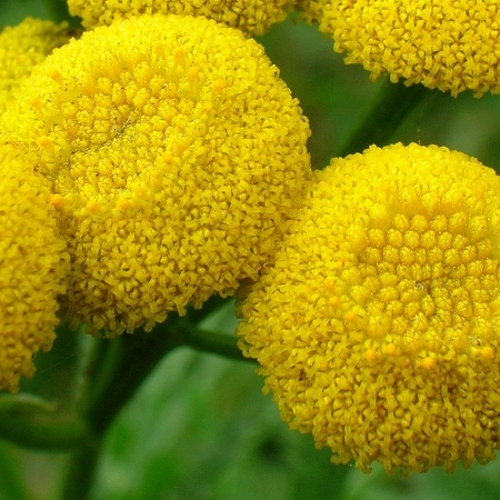 Close up of Tansy flower head from Wikipedia. The color and texture reminds me of Goldenrod, also a member of the Aster family.