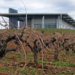 """Example of trellis-free,""""head-trained"""" grapevines at Amador Wineryin California. Going to try something like this for a few of our Muscadines."""