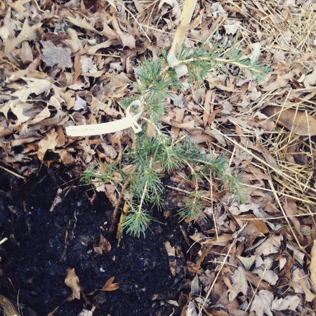 """Despite its name, this """"Feelin' Blue"""" Weeping Himalayan Cedar has me feelin' happy about it being in the yard now."""