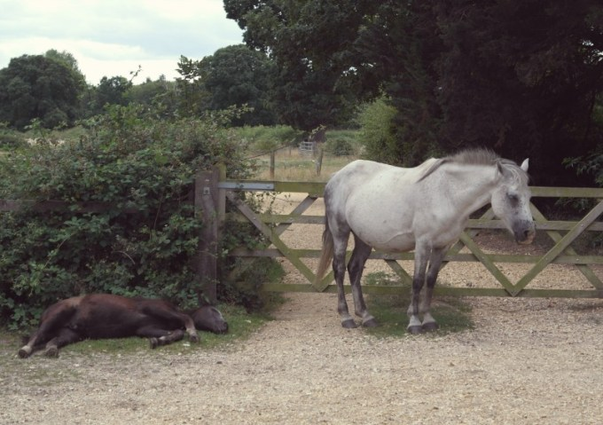 New Forest Pony, Beauileu
