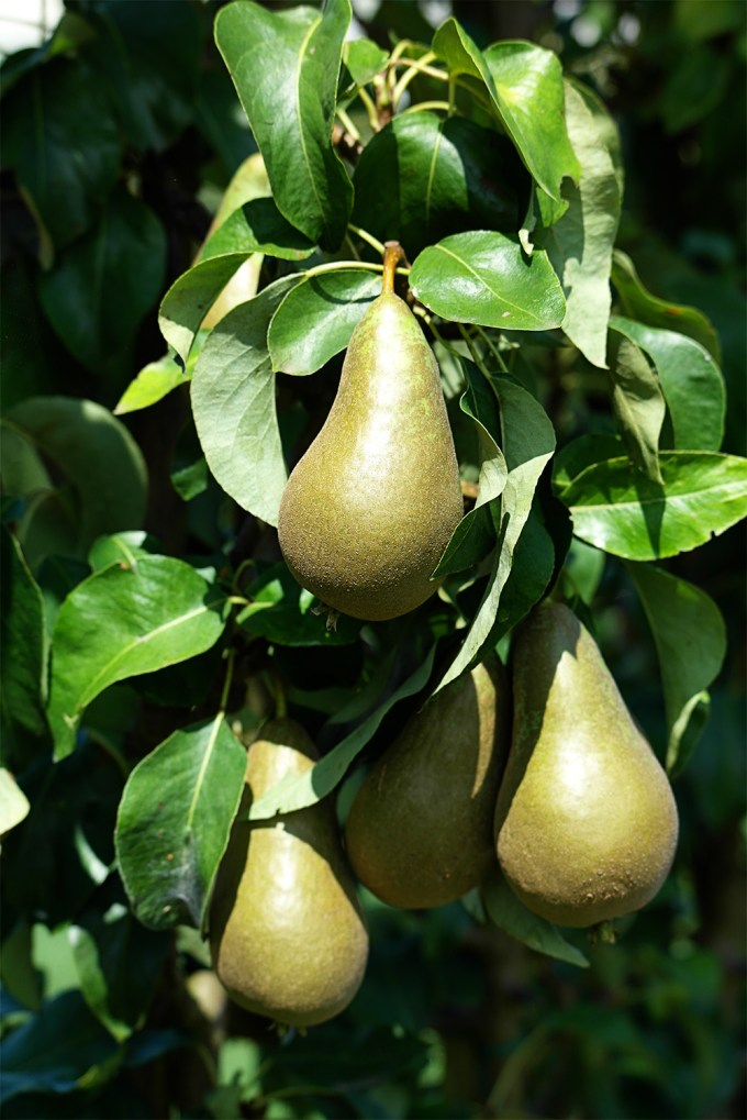Pears hanging on the tree