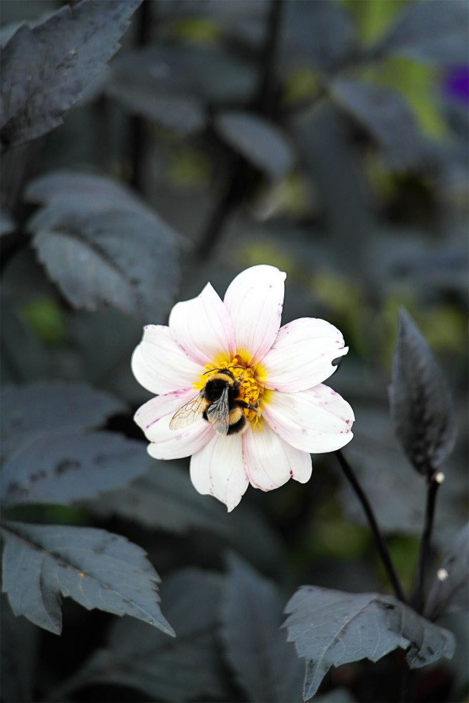 Bumble Bee having some lunch