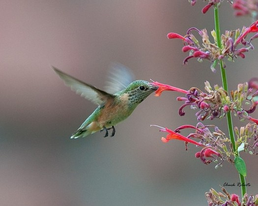 Anna's Hummingbird on Agastache  photo: Chuck Roberts