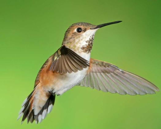 Rufous Hummingbird  photo: Dr. Joseph Turner