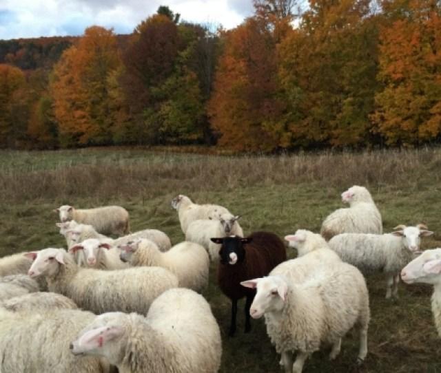 Theblacksheep Jpg The Black Sheep