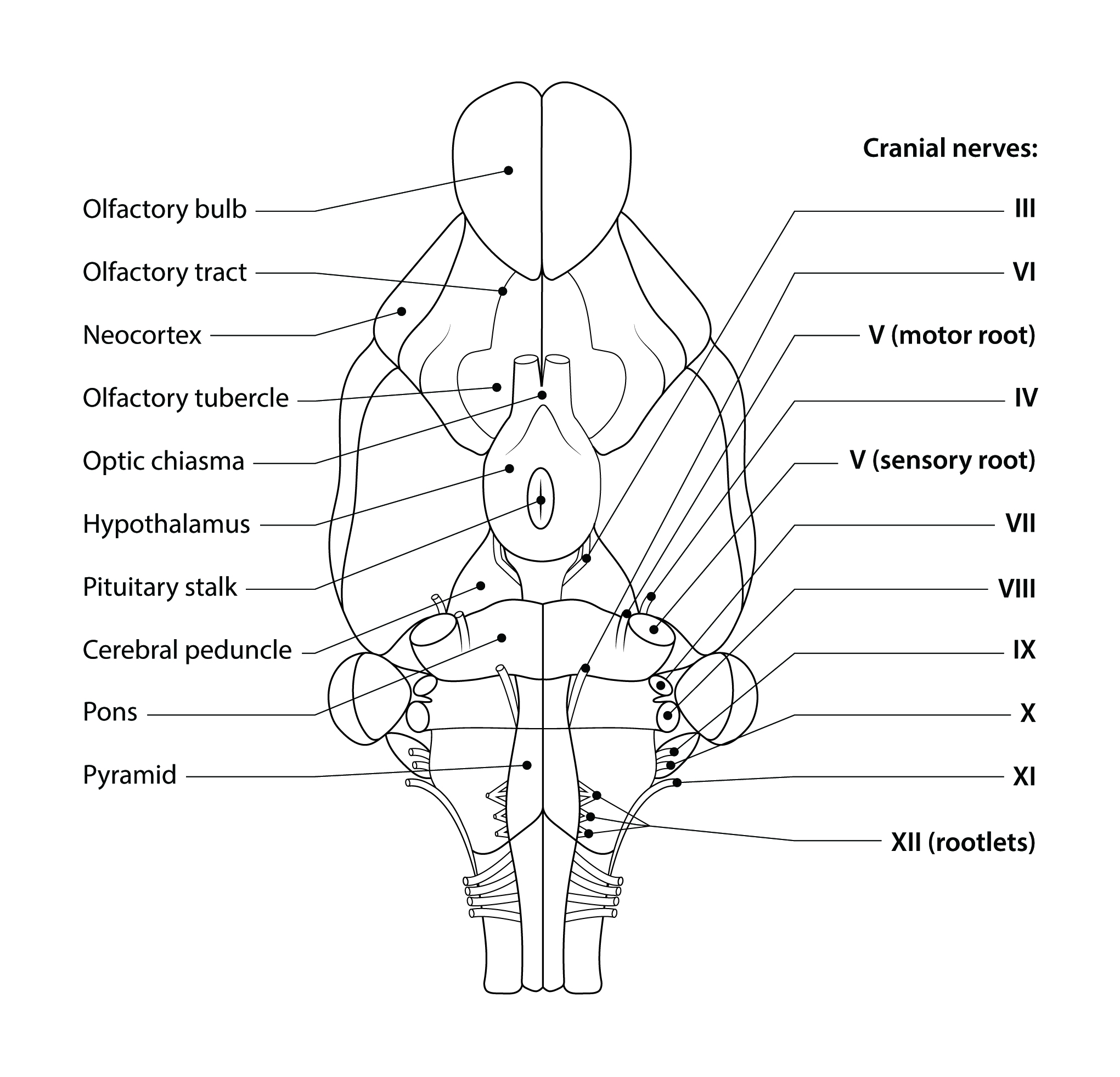 Cat Dissection Muscles Diagram