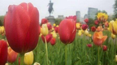 Tulips at the entrance to the Boston Public Garden