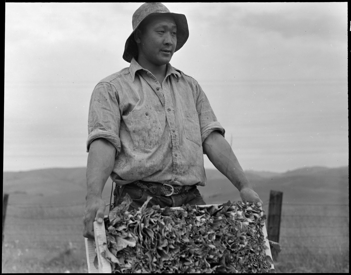 Centerville, California. Harvesting cauliflower on a ranch near Centerville on April 9, 1942, while evacuation of persons of Japanese descent was in progress. Evacuees will be housed in War Relocation Authority centers for the duration.