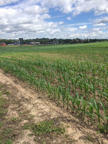 Dry areas can lead to temporary nutrient deficiency symptoms and give an erratic appearance to the field. Water will help move nutrients into the root zone and help with plant growth. Photo courtesy of Brett Reese, Southern States.