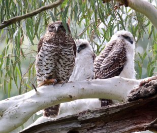 Image result for powerful owl