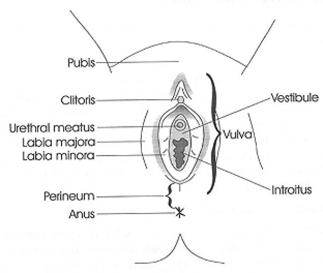 Figure 1 Vulvar Anatomy Courtesy Of The National Vulvodynia Association