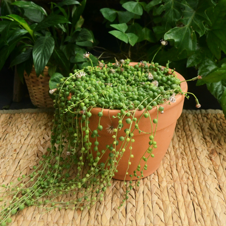 String Of Pearls Care Fieldnotes By Studioplants