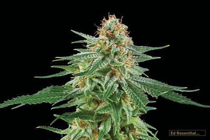 WHITE WIDOW AUTOMATIC Royal Critical Automatic x White Widow, Indica/Sativa/Ruderalis: 40/40/20; Flowering: 75 days, High: physical; Smell/Taste: sweet and sour, citrus. By Royal Queen Seeds