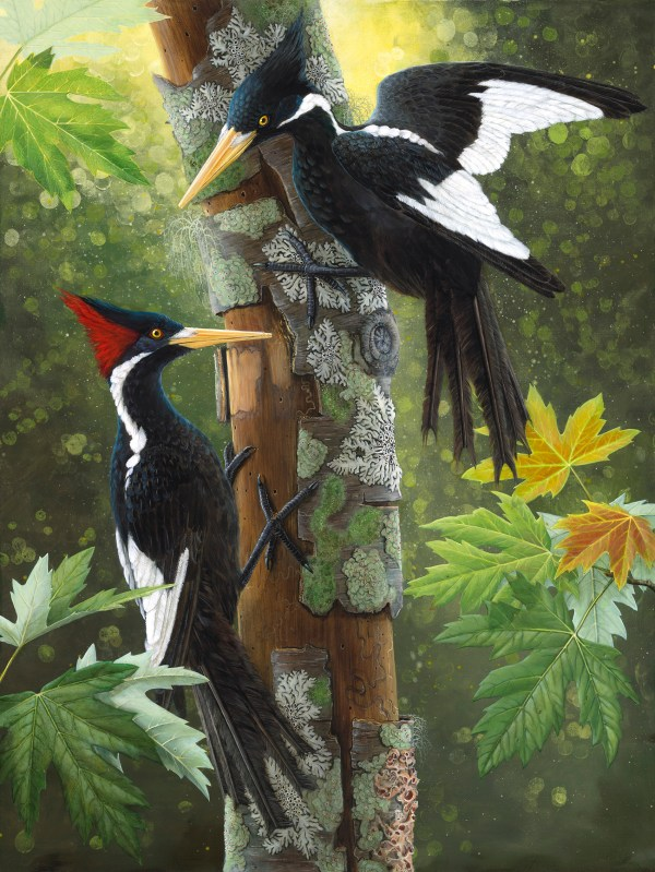 welcome ivorybilled woodpecker - HD1700×2264