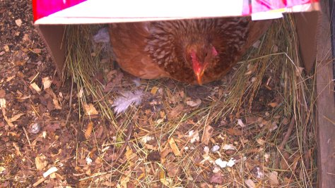 Brown hen with striped neck peeking out of open cardboard box, lying on hay and wood chips