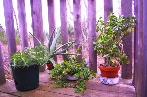 Rosemary, aloe, goldfish plant, and jade plant, in pots, set on wooden deck with wood railing behind