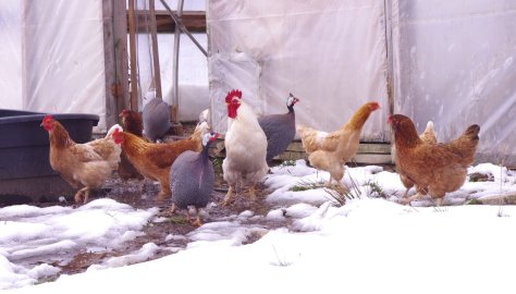 Six brownish hens, three pearl grey guinea fowl, one white rooster, in a group in front of open door of clear plastic wrapped structure, looking at snow covered ground in front of them.