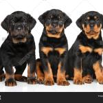 Rottweiler Puppies Image Photo Free Trial Bigstock