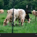 Group Crossbred Beef Image Photo Free Trial Bigstock