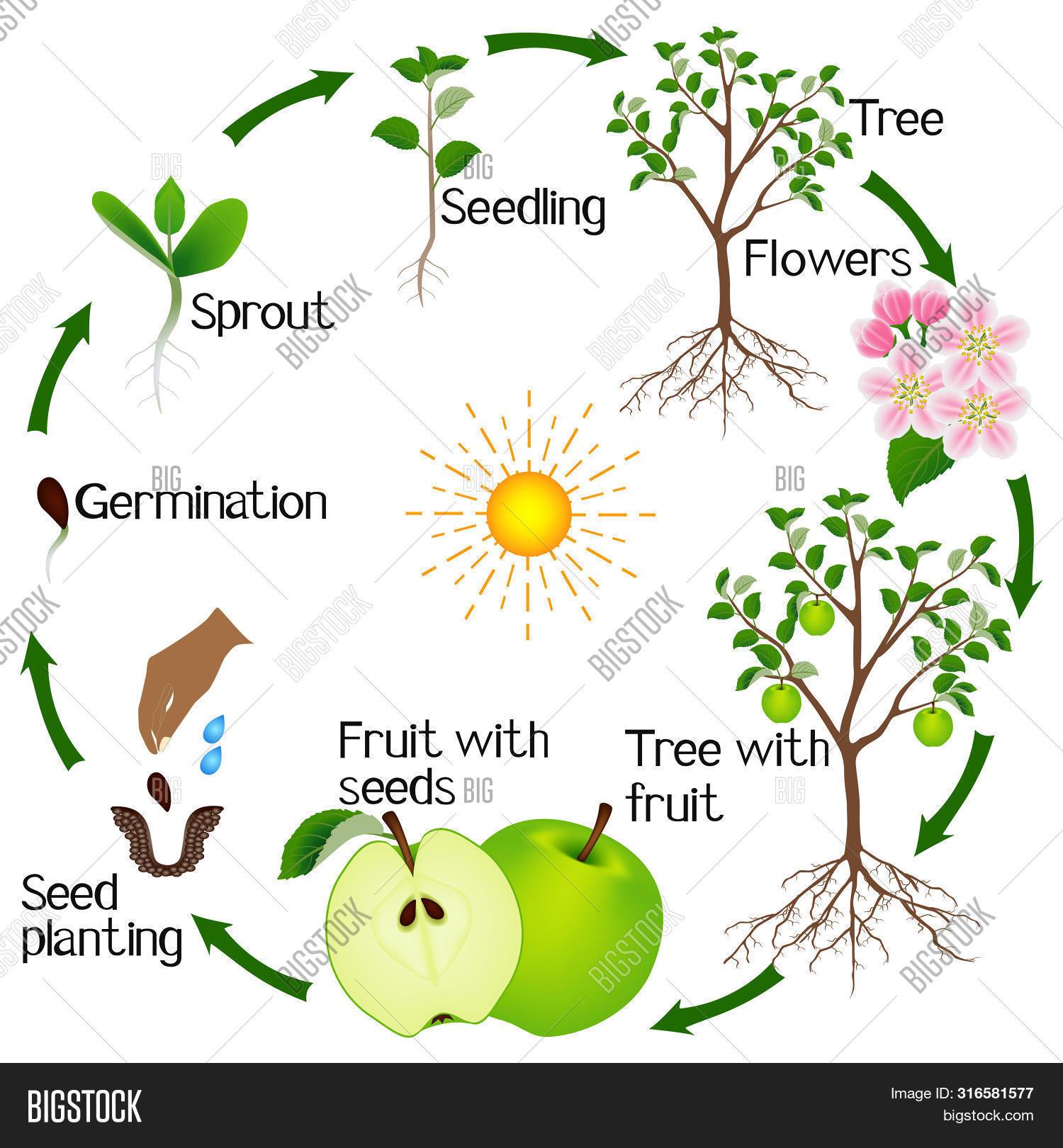 Apple Tree Life Cycle Vector Photo Free Trial Bigstock