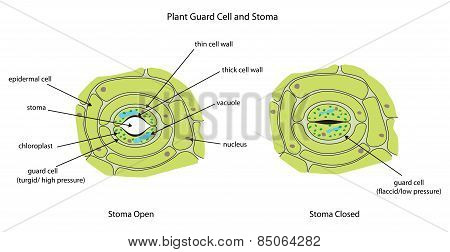 Image of: Functions Labeled Diagram Showing Plant Stoma Open And Closed Poster Id 85064282 Dreamstimecom Plant Guard Cells With Stoma Fully Labeled Poster Id85064282