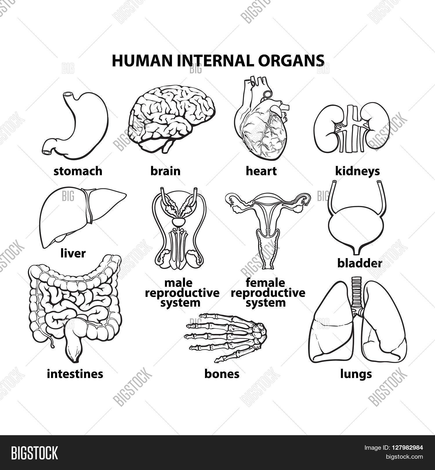 Set Human Organs Different Human Image Amp Photo