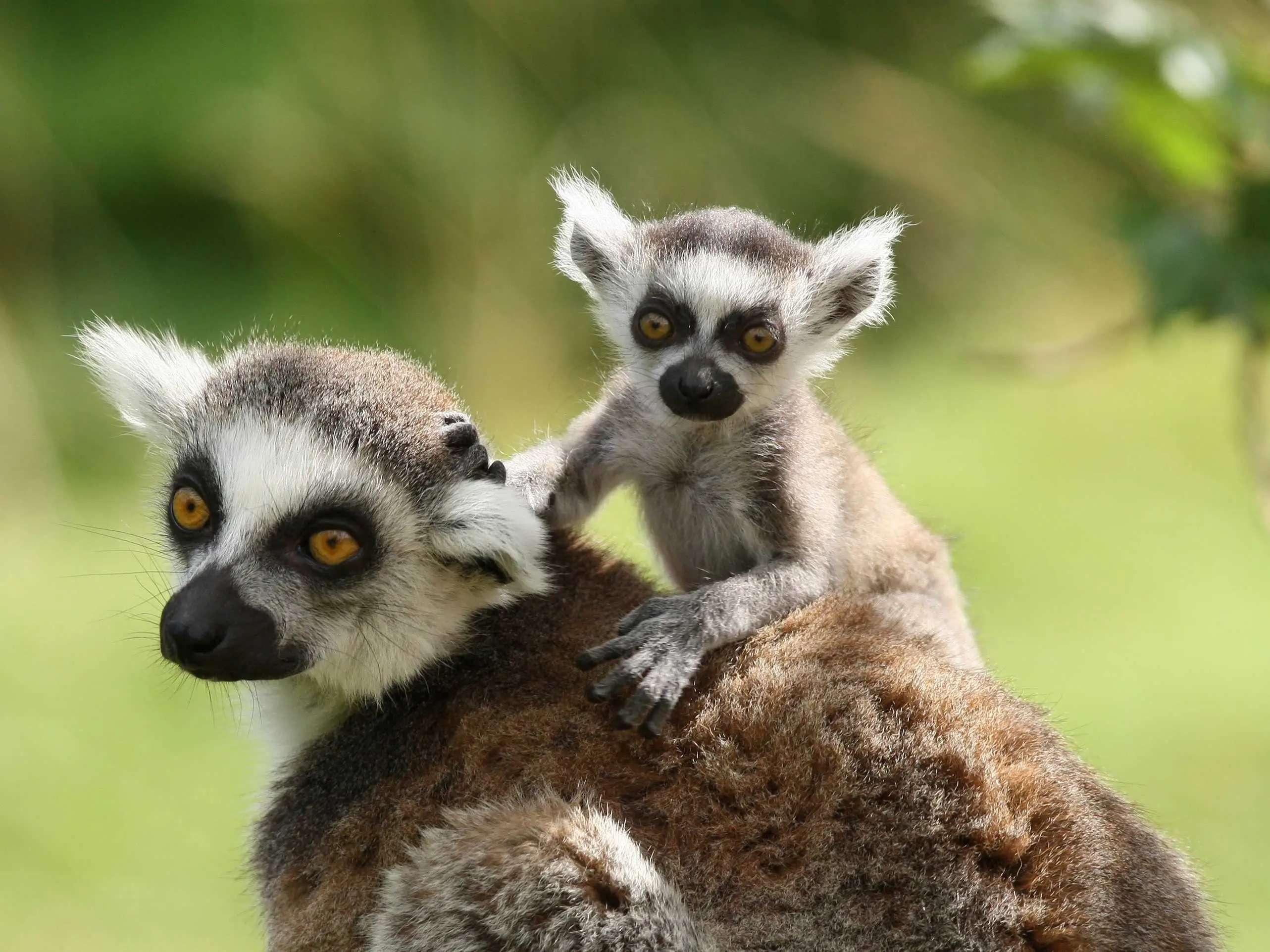 Snap a photo of Madagascar's playful, bushy-tailed lemurs.