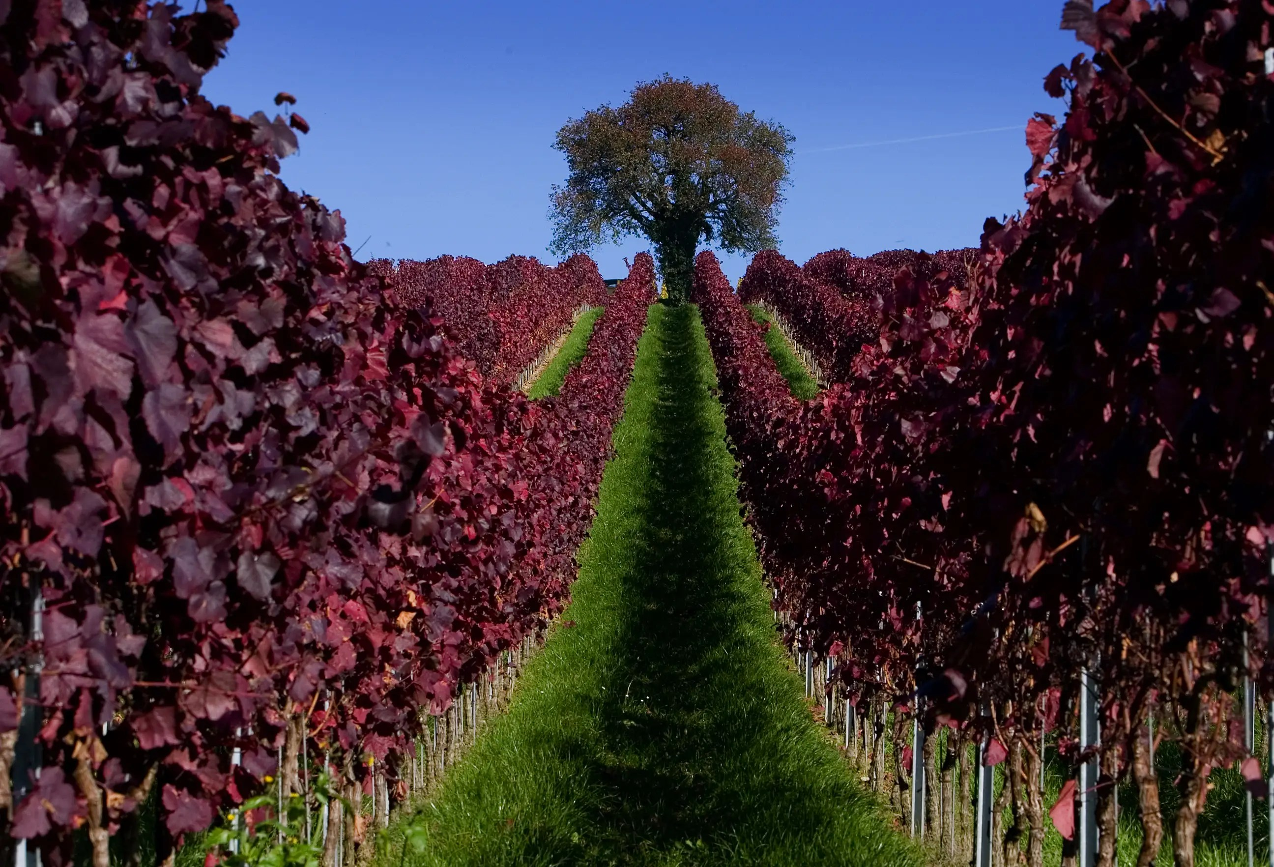 Leaves are colored red in a vineyard during a sunny autumn day near Ueberlingen in Germany.
