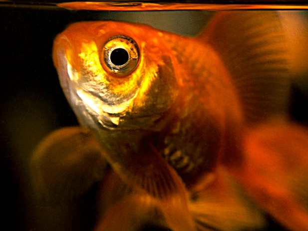 Keeping goldfish in big glass bowls is not tolerated in Rome, Italy.