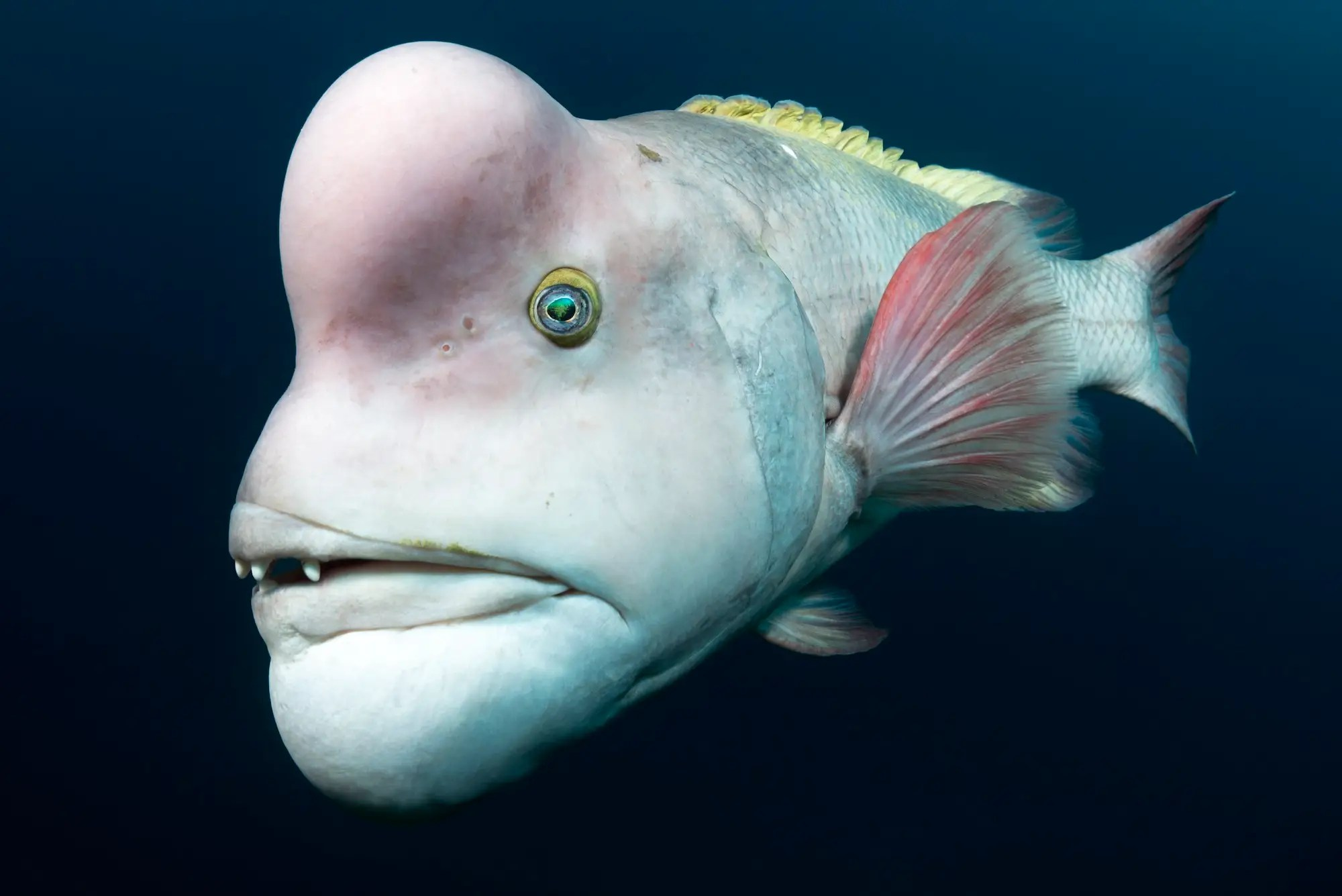 The most gorgeous wildlife photos of 2018 shine a light on nature's bizarre and wonderful beauty underwater photographer tony wu was tickled to meet this asian sheepshead wrasse off the coast of japans sado island the fishs forehead reveals the burning desire of a male in love he said