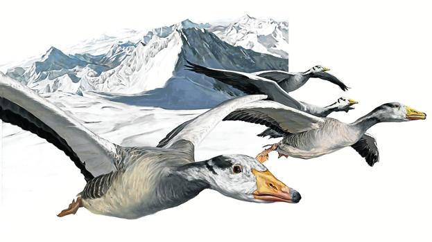 A flock of Indian geese flies over the Himalayas.  / Illustrations: Yolanda González