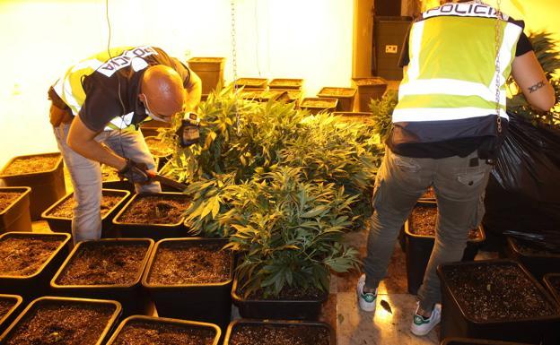 Indoor marijuana plantation in an address in Alcantarilla.
