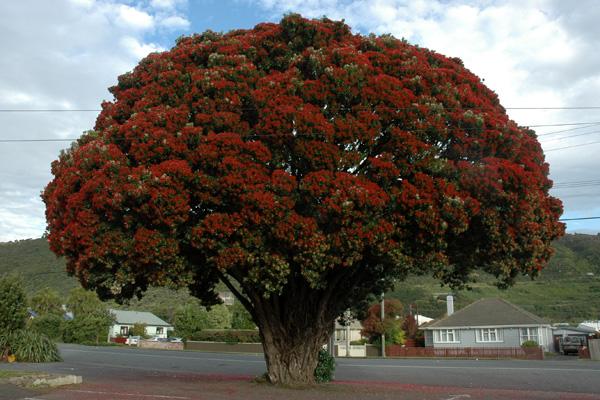 The pohutakawa tree in all its flowering glory