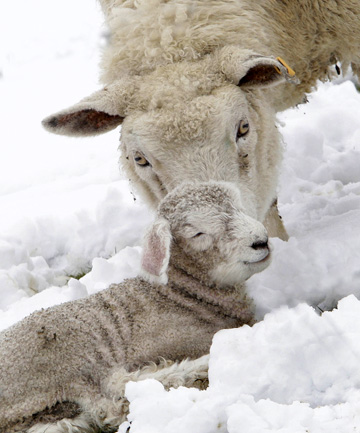 A ewe shows concern for her lamb