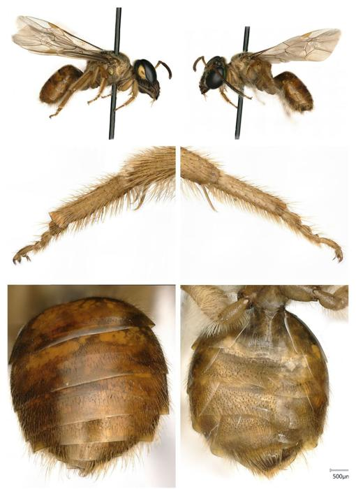 Two bees of the species Megalopta Amoena. On the left, a female; on the right, a male