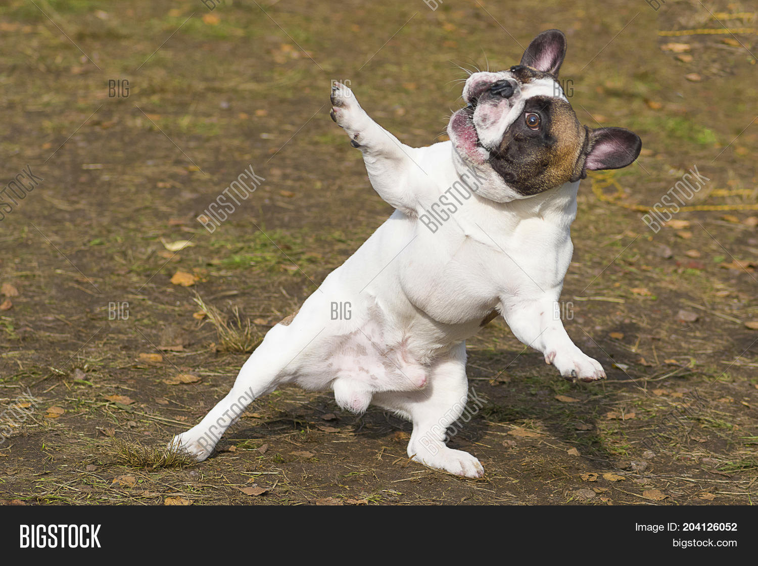 English Bulldog Dancing Dog Humor Stands On Its Hind Legs Spreads Out Its Front