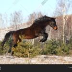 Black Horse Jumping Image Photo Free Trial Bigstock
