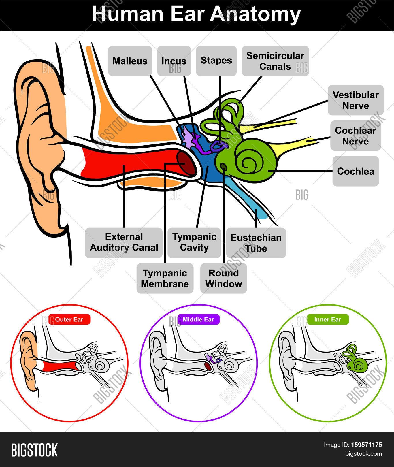 Human Ear Anatomy Image Amp Photo Free Trial
