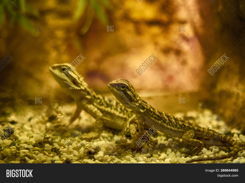 Bearded Dragon Species