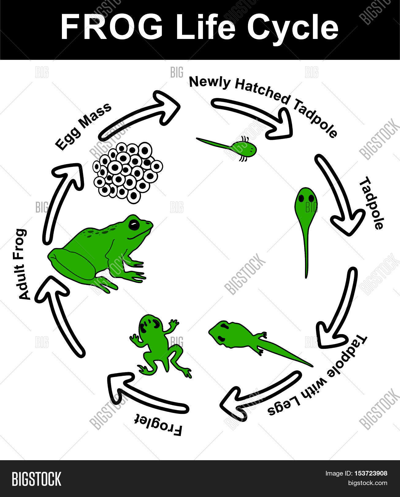 Frog Life Cycle All Stages Egg Image Amp Photo