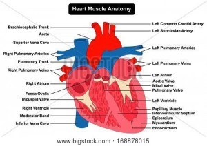 Human Heart Muscle Structure Vector & Photo | Bigstock