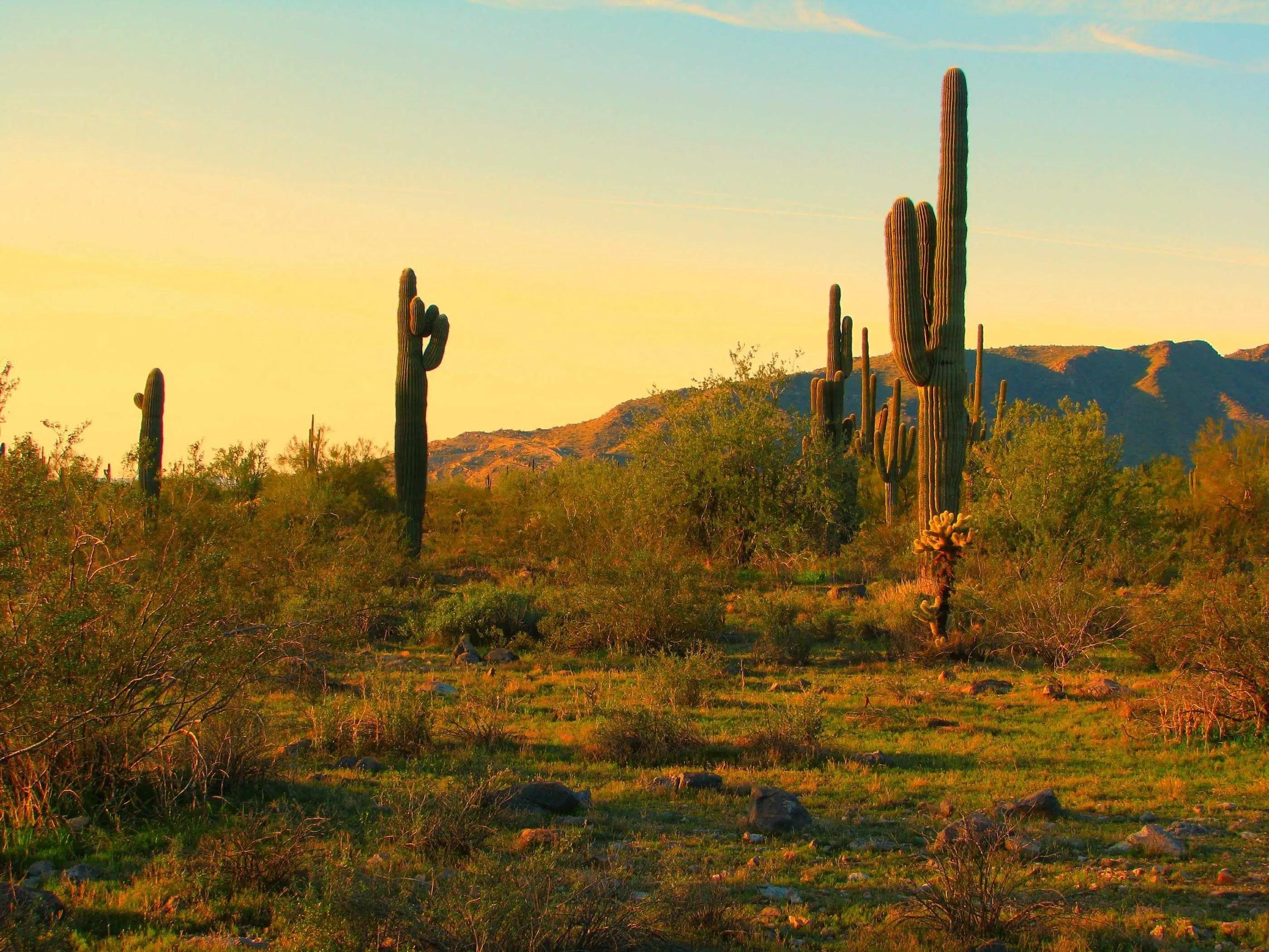 Cactus Saguaro National Park