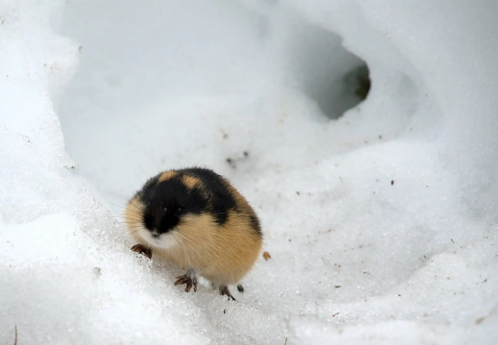 Lemmings do not commit mass suicide. During their migrations they sometimes do fall off cliffs, if they wander to an area they are unfamiliar with.