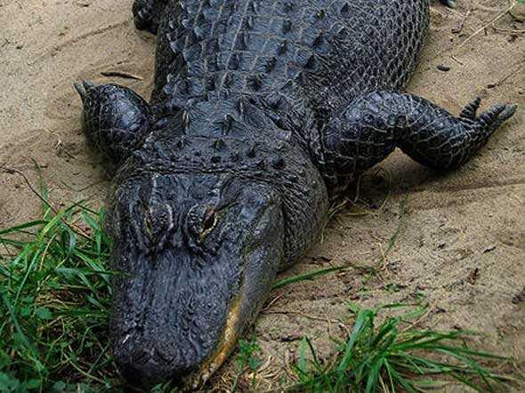 Alligator Population Index